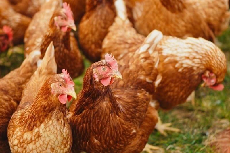 Soja Hühner Futtermittel