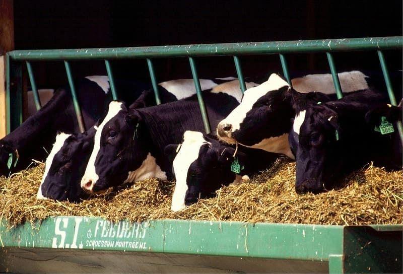 Soja Futtermittel Rinder