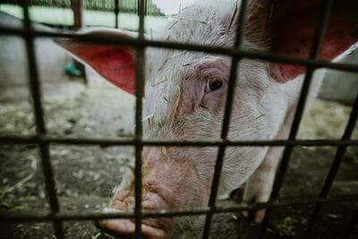 Betrübtes Schwein